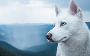 Картинка белый, порода, пёс