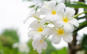 Картинка Цветы, Капли, Белая, Плюмерия, Цветение