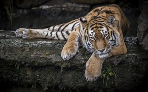 Обои тигр, отдых, хищник