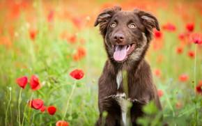 Картинка поле, язык, цветы, природа, маки, собака, щенок, коричневая