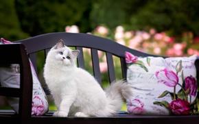 Обои рэгдолл, мордашка, скамья, голубоглазая, подушка, пушистая кошка, взгляд, кошка