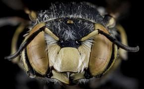Картинка природа, пчела, насекомое, anthidium maculifrons