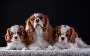 Обои щенки, мама, семья, кавалер кинг чарльз спаниель