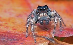 Картинка макро, красный, лист, фон, лапки, паук, прыгун, джампер, паучок, прыгунчик