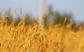 Картинка осень, фон, колосья, травка