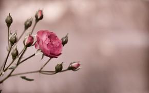 Картинка роза, куст, rose, бутоны, flower, pink
