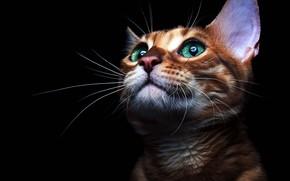 Обои глаза, голубые, чёрный, морда, рыжая, фон, взгляд, кошка