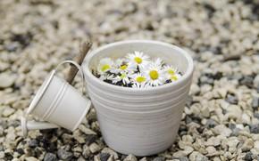 Картинка цветы, камни, ромашки, лейка, camomile