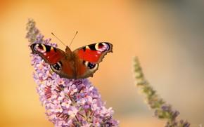 Обои цветок, крылья, бабочка