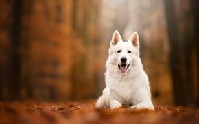Обои осень, собака, боке, Белая швейцарская овчарка