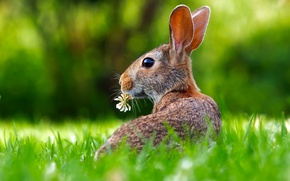Обои заяц, цветок, трава, уши
