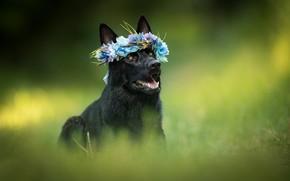 Картинка собака, венок, боке, овчарка