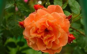 Картинка роза, Макро, Цветок, Flower