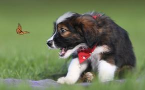 Картинка бабочка, собака, щенок, боке, Валлер