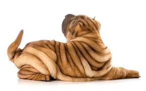 Картинка собака, хвост, шарпей, мех, background, dogs