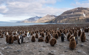 Картинка South Georgia, Saint Andrews Bay, King Penguin
