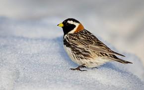 Картинка природа, птица, клюв, лапландский подорожник