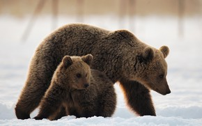 Картинка снег, медведи, медвежонок, медведица