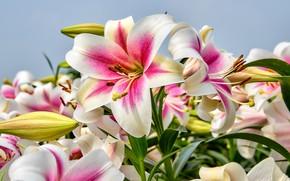 Картинка цветы, бутоны, цветение, Лилии