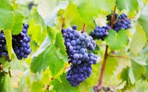 Картинка листья, ветки, природа, куст, виноград, гроздь