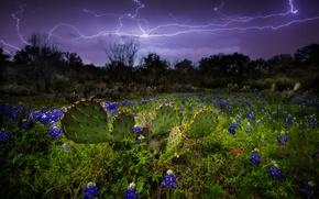 Картинка небо, природа, молнии, молния, кактусы, люпины