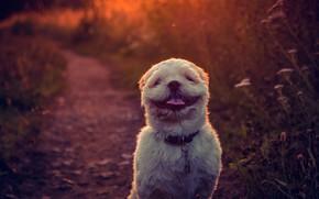 Обои язык, фон, милая, собака