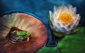 Картинка цветок, листья, лягушка, кувшинка, водяная лилия