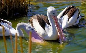 Картинка трава, вода, птицы, пруд, клюв, три, водоем, плавание, пеликаны, водоплавающие