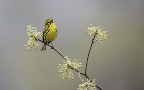 Картинка природа, птица, весна, Prairie Warbler