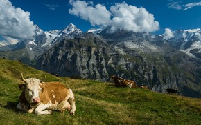 Картинка горы, Швейцария, коровы