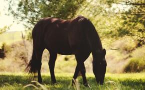 Картинка лето, свет, конь, лошадь, тень, пастбище, пасётся