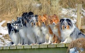 Картинка собаки, компания, Шелти, Бордер-колли, Шетландская овчарка, Аляскинский кли-кай