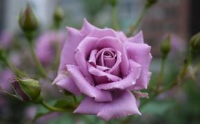 Картинка цветок, капли, роза, бутон, пурпурная роза