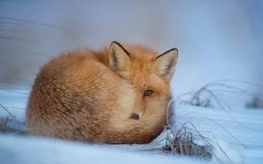 Обои зима, снег, лис, лисица, мех