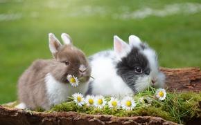 Картинка животные, трава, цветы, природа, ромашки, пара, кролики