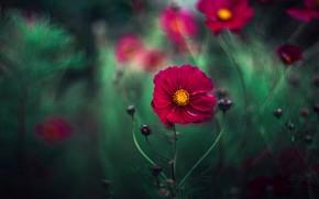 Картинка лето, бордовый, космея