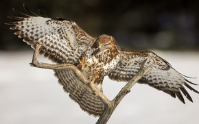 Картинка птица, крылья, ветка, Ястреб, Канюк