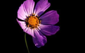 Картинка цветок, розовый, тень, контраст, черный фон, космея