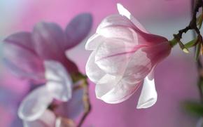 Картинка цветок, цветы, природа, фон, розовый, весна, лепестки, бутоны, цветение, цветки, магнолия