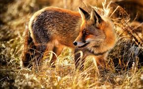 Картинка трава, лиса, рыжая, дикая природа, лисица