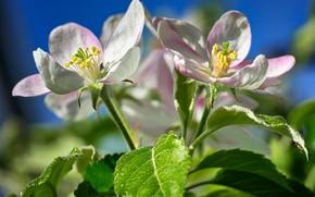 Картинка цветы, весна, Яблоня, цветение