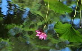 Картинка цветок, листья, цветы, озеро, пруд, отражение, настроение, мило, рябь, лотос, лотосы, водоем, в воде, отражение …