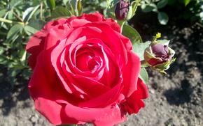 Картинка цветы, роза, Flower, крассная