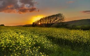 Обои закат, поле, рапс
