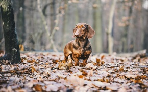 Обои листья, осень, такса, собака