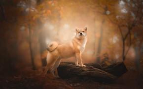 Обои осень, лес, собака, коряга, боке, Сиба-ину, Шиба-ину