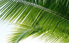 Картинка листья, природа, пальма, nature, leaves, palm