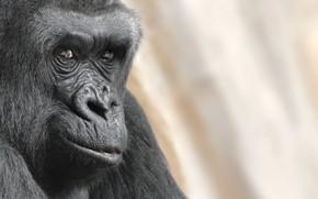 Картинка взгляд, портрет, обезьяна