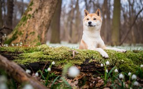 Обои лес, взгляд, морда, цветы, природа, парк, фон, дерево, поляна, мох, собака, весна, подснежники, щенок, бревно, ...