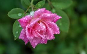 Картинка капли, макро, роса, роза, роза розовая